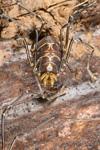 http://mczbase.mcz.harvard.edu/specimen_images/invertebrates/large/144141_Rhopalocranaus_albilineatus_9.jpg