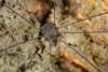 http://mczbase.mcz.harvard.edu/specimen_images/invertebrates/large/144143_Prionostemma_3.jpg