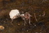 http://mczbase.mcz.harvard.edu/specimen_images/invertebrates/large/144144_Schizomida_10.jpg