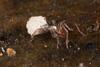 http://mczbase.mcz.harvard.edu/specimen_images/invertebrates/large/144144_Schizomida_11.jpg