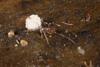 http://mczbase.mcz.harvard.edu/specimen_images/invertebrates/large/144144_Schizomida_8.jpg