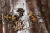 http://mczbase.mcz.harvard.edu/specimen_images/invertebrates/large/144145_Rhopalocranaus_albilineatus_2.jpg