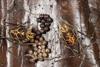 http://mczbase.mcz.harvard.edu/specimen_images/invertebrates/large/144145_Rhopalocranaus_albilineatus_3.jpg