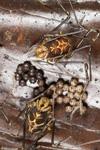http://mczbase.mcz.harvard.edu/specimen_images/invertebrates/large/144145_Rhopalocranaus_albilineatus_5.jpg