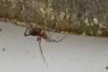 http://mczbase.mcz.harvard.edu/specimen_images/invertebrates/large/144146_Maracaynatum_3.jpg