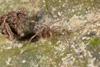 http://mczbase.mcz.harvard.edu/specimen_images/invertebrates/large/144147_Kimulidae_2.jpg