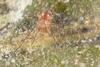 http://mczbase.mcz.harvard.edu/specimen_images/invertebrates/large/144148_Stygnommatidae_4.jpg