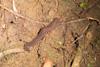 http://mczbase.mcz.harvard.edu/specimen_images/invertebrates/large/144160_Epiperipatus_broadwayi_1.jpg