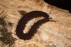 http://mczbase.mcz.harvard.edu/specimen_images/invertebrates/large/144160_Epiperipatus_broadwayi_14.jpg