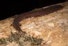 http://mczbase.mcz.harvard.edu/specimen_images/invertebrates/large/144160_Epiperipatus_broadwayi_9.jpg