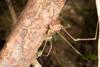 http://mczbase.mcz.harvard.edu/specimen_images/invertebrates/large/144161_Paecilaema_inglei_2.jpg