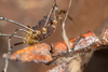 http://mczbase.mcz.harvard.edu/specimen_images/invertebrates/large/144162_Cranellus_2.jpg
