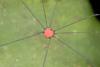 http://mczbase.mcz.harvard.edu/specimen_images/invertebrates/large/144167_Prionostemma_4.jpg