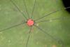 http://mczbase.mcz.harvard.edu/specimen_images/invertebrates/large/144167_Prionostemma_5.jpg