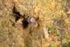http://mczbase.mcz.harvard.edu/specimen_images/invertebrates/large/144168_Prionostemma_1.jpg