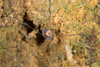 http://mczbase.mcz.harvard.edu/specimen_images/invertebrates/large/144168_Prionostemma_2.jpg