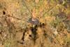 http://mczbase.mcz.harvard.edu/specimen_images/invertebrates/large/144168_Prionostemma_3.jpg