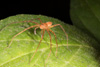 http://mczbase.mcz.harvard.edu/specimen_images/invertebrates/large/144169_Sparassidae_1.jpg