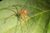 http://mczbase.mcz.harvard.edu/specimen_images/invertebrates/large/144169_Sparassidae_3.jpg