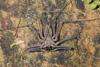 http://mczbase.mcz.harvard.edu/specimen_images/invertebrates/large/144170_Heterophrynus_11.jpg