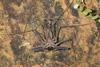 http://mczbase.mcz.harvard.edu/specimen_images/invertebrates/large/144170_Heterophrynus_13.jpg
