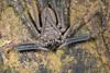 http://mczbase.mcz.harvard.edu/specimen_images/invertebrates/large/144170_Heterophrynus_15.jpg