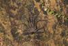 http://mczbase.mcz.harvard.edu/specimen_images/invertebrates/large/144170_Heterophrynus_17.jpg