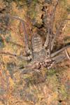 http://mczbase.mcz.harvard.edu/specimen_images/invertebrates/large/144170_Heterophrynus_3.jpg
