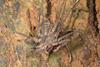 http://mczbase.mcz.harvard.edu/specimen_images/invertebrates/large/144170_Heterophrynus_4.jpg