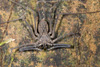 http://mczbase.mcz.harvard.edu/specimen_images/invertebrates/large/144170_Heterophrynus_8.jpg