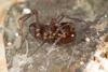 http://mczbase.mcz.harvard.edu/specimen_images/invertebrates/large/144171_Stygnomma_11.jpg