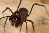 http://mczbase.mcz.harvard.edu/specimen_images/invertebrates/large/144171_Stygnomma_15.jpg
