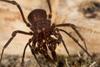 http://mczbase.mcz.harvard.edu/specimen_images/invertebrates/large/144171_Stygnomma_17.jpg