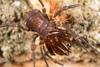 http://mczbase.mcz.harvard.edu/specimen_images/invertebrates/large/144171_Stygnomma_18.jpg