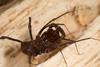 http://mczbase.mcz.harvard.edu/specimen_images/invertebrates/large/144171_Stygnomma_19.jpg