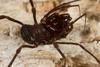 http://mczbase.mcz.harvard.edu/specimen_images/invertebrates/large/144171_Stygnomma_4.jpg