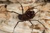 http://mczbase.mcz.harvard.edu/specimen_images/invertebrates/large/144171_Stygnomma_5.jpg