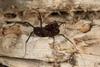 http://mczbase.mcz.harvard.edu/specimen_images/invertebrates/large/144171_Stygnomma_7.jpg