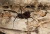 http://mczbase.mcz.harvard.edu/specimen_images/invertebrates/large/144171_Stygnomma_8.jpg