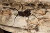 http://mczbase.mcz.harvard.edu/specimen_images/invertebrates/large/144171_Stygnomma_9.jpg