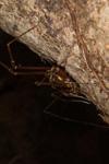 http://mczbase.mcz.harvard.edu/specimen_images/invertebrates/large/144176_Phareicranaus_calcariferus_1.jpg