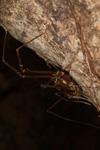 http://mczbase.mcz.harvard.edu/specimen_images/invertebrates/large/144176_Phareicranaus_calcariferus_2.jpg