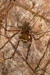 http://mczbase.mcz.harvard.edu/specimen_images/invertebrates/large/144176_Phareicranaus_calcariferus_3.jpg