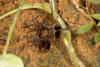 http://mczbase.mcz.harvard.edu/specimen_images/invertebrates/large/144177_Phareicranaus_calcariferus_2.jpg
