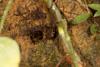 http://mczbase.mcz.harvard.edu/specimen_images/invertebrates/large/144177_Phareicranaus_calcariferus_3.jpg