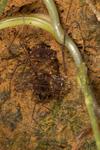 http://mczbase.mcz.harvard.edu/specimen_images/invertebrates/large/144177_Phareicranaus_calcariferus_4.jpg