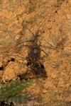 http://mczbase.mcz.harvard.edu/specimen_images/invertebrates/large/144177_Phareicranaus_calcariferus_6.jpg