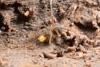 http://mczbase.mcz.harvard.edu/specimen_images/invertebrates/large/144183_Pellobunus_4.jpg