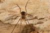 http://mczbase.mcz.harvard.edu/specimen_images/invertebrates/large/144192_Pellobunus_2.jpg