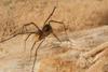 http://mczbase.mcz.harvard.edu/specimen_images/invertebrates/large/144192_Pellobunus_3.jpg